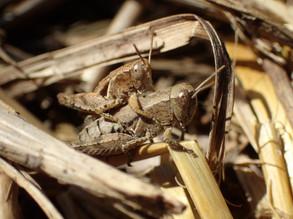 Criquets mâle et femelle