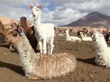 Enclos à lamas