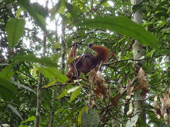 Les hommes de la forêt en danger