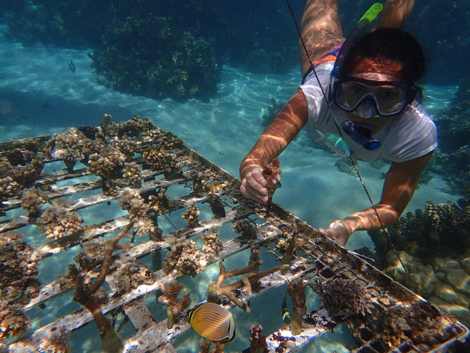 Bouturage de corail à Tahiti