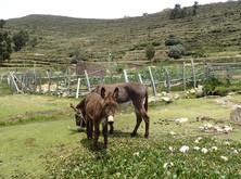 Isla del Sol - Les ânes seul moyen de transport sur l'île
