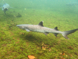 Requins pointes blanches