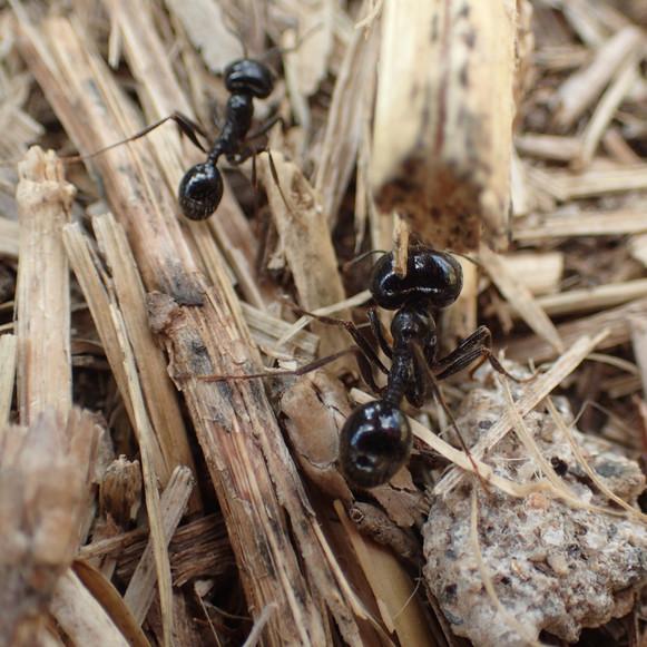 Fourmis noires des jardins