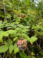 Mûre (plante invasive)
