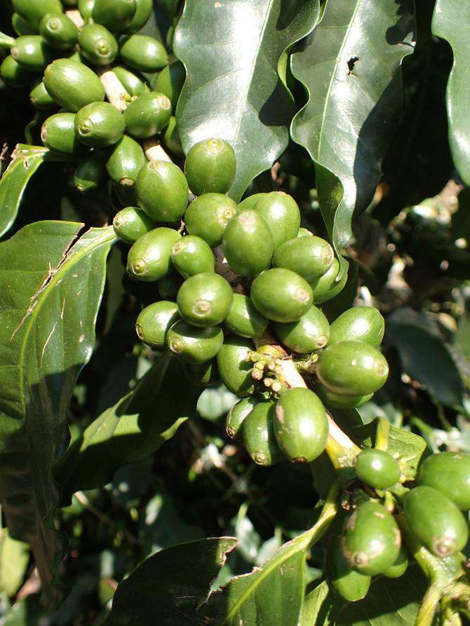 Café bio équitable au Costa Rica