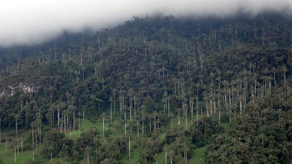 Forêt de palmiers blancs