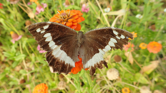 Papillon Silène