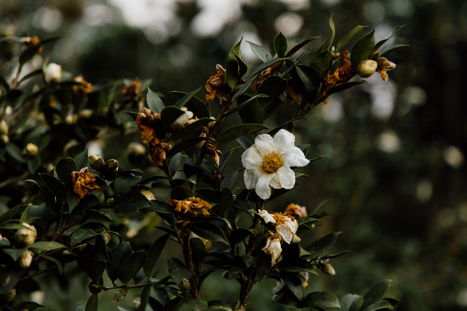 Tea Flowers In Bloom
