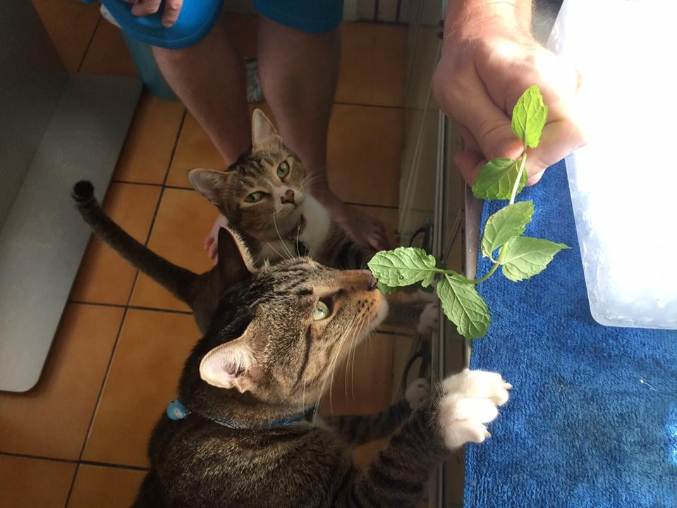 Fresh mint is a key ingredient, the cats approve!