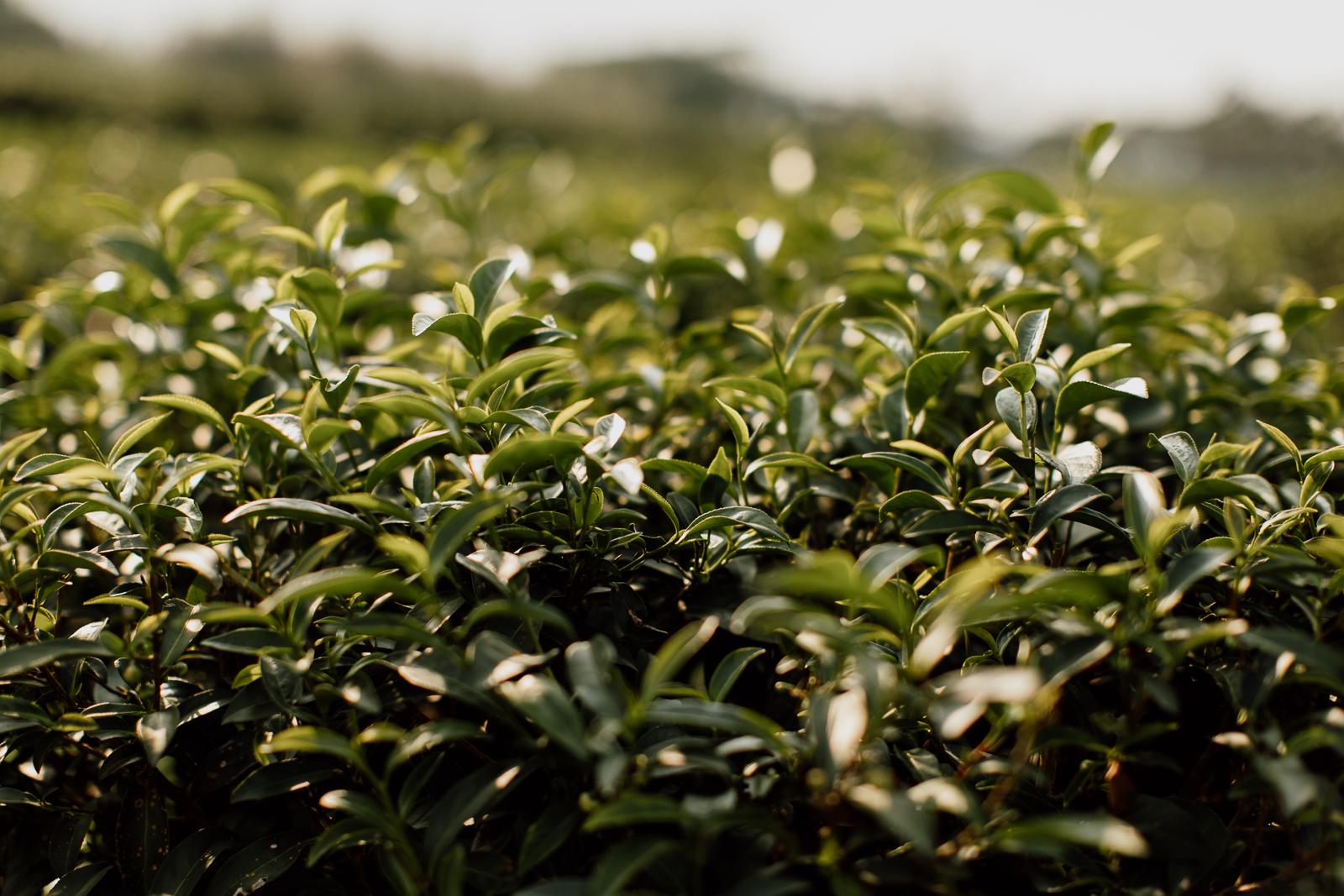 Tea Plants Glowing Under the Sun