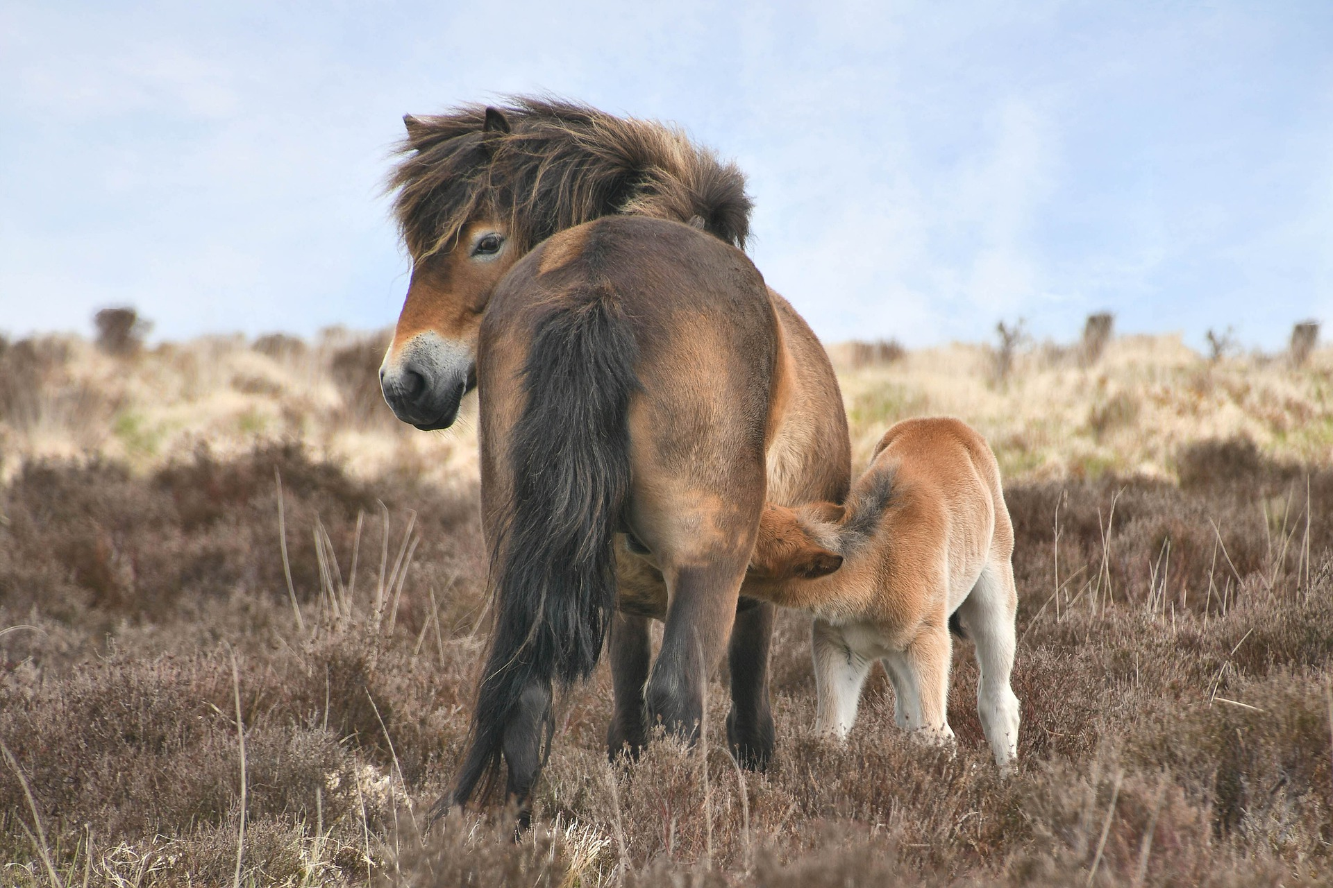 Exmoor Ponies, explore North Lake Chapel North Devon