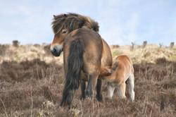 Exmoor Ponies, explore North Lake Chapel North Devon