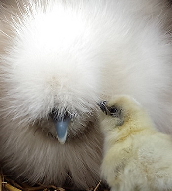 white silkie and chick (2).png