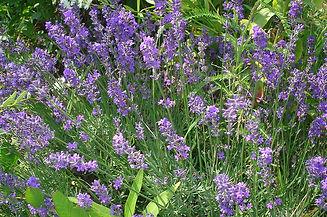 800px-Lavandula_angustifolia_01.jpg