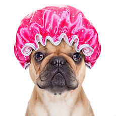 french bulldog dog ready to have a bath