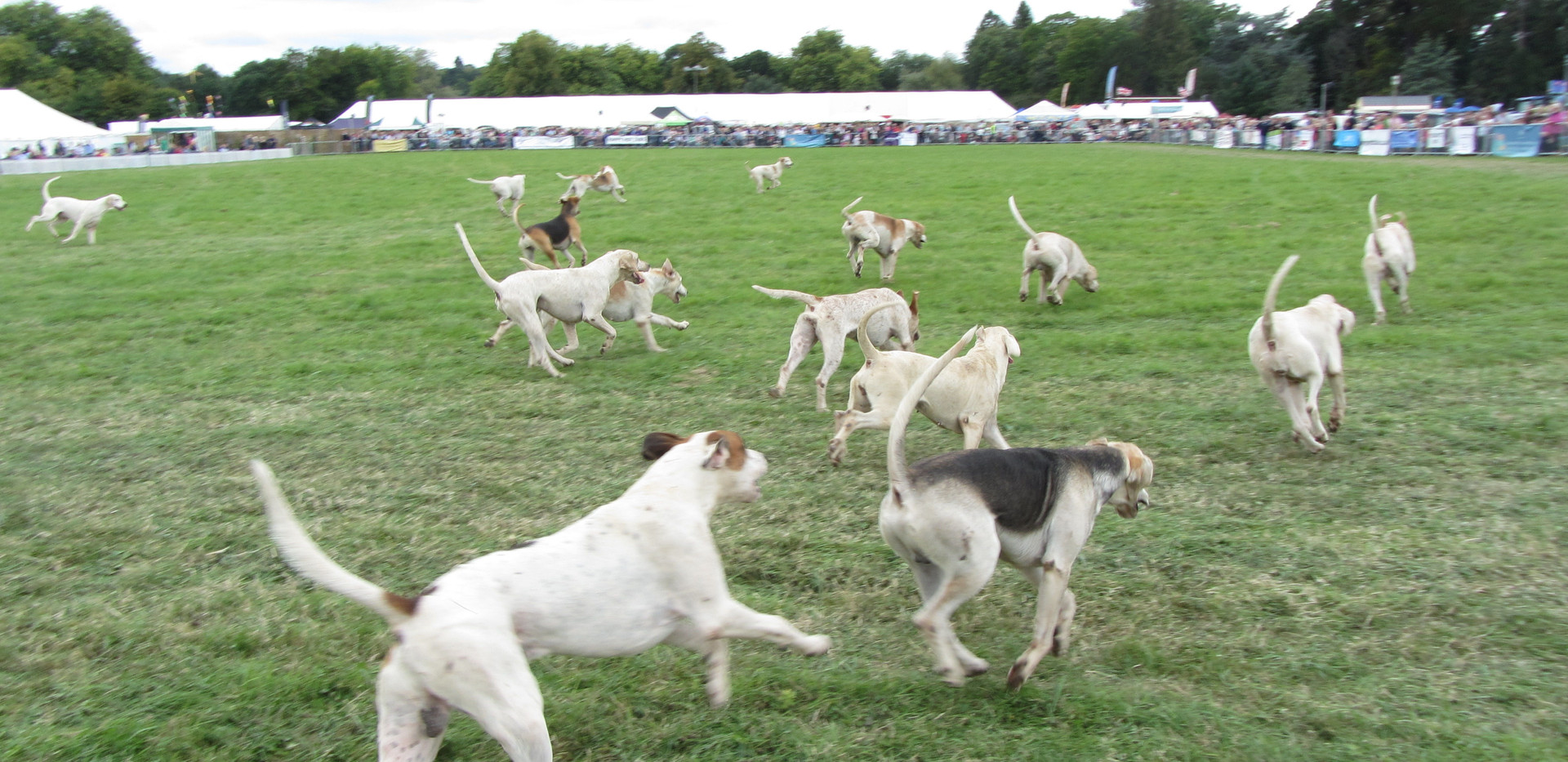 Romsey Show 2018 Main Arena Hounds on.jp