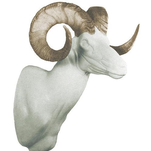 Mouflon Sheep (Corsican)