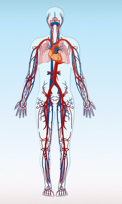 ısınma fizyolojisi, ısınma yaparken vücudumuzda neler gerçekleşir, kan dolaşım sistemi