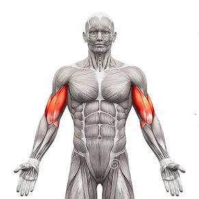 önkol kası anatomisi, önkol kası rehberi, en iyi önkol hareketleri, önkol nasıl çalıştırılır, önkol kası anatomisi, önkol kasları için dikkat edilecek noktalar, önkol kası için en iyi hareketler, en iyi önkol egzersizleri, önkol kaslarımı nasıl büyütebilirim, biceps kası gelişimi, biceps nasıl çalıştırılır, en iyi biceps hareketleri, biceps anatoisi