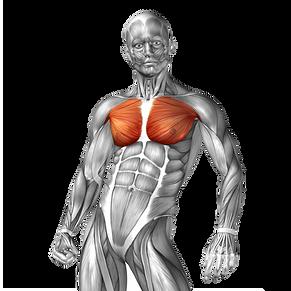 göğüs, göğüs kası, göğüs kası nasıl geliştirilir, en iyi göğüs hareketleri, göğüs kasımı en iyi şekilde nasıl çalıştırırım, göğüs kası rehberi, göğüs kası anatomisi, alt göğüs egzersizleri, üst göğüs egzersizleri