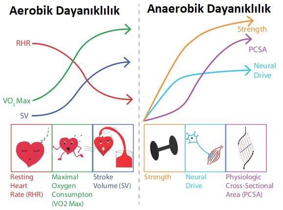 aerobik ve anaerobik dayanıklılık, aerobik ve anaerobik kapasite