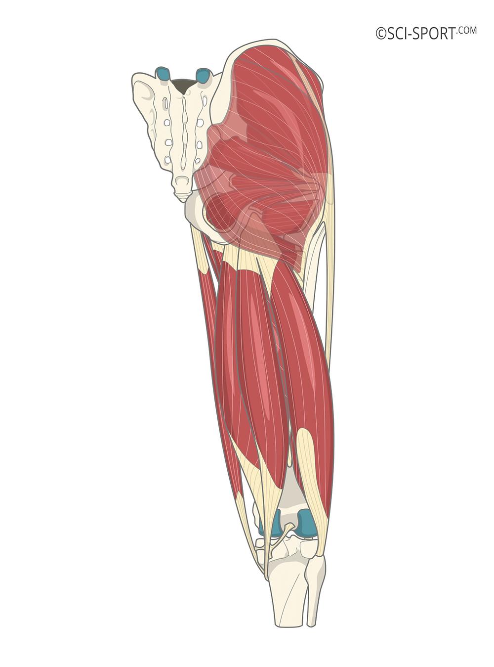 kalça kasları, kalça kası anatomisi, bilimsel olarak en iyi kalça kası egzersizi