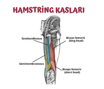 Semitendinosus, semitendinosus,arka bacak kası anatomisi nedir, arka bacak kası anatomisi, arka bacak hangi kaslardan oluşur, arka bacak  kasları, arka bacak muscle, hamstring, arka bacak çalışırken hangi kaslar çalışır arka bacak anatomy, arka bacak anatomisi inceleme, arka bacak kasları, arka bacak egzersizleri hangi kasları çalıştırır, arka bacak egzersizleri anatomisi, arka bacak egzersizleri, arka bacak kasları, hamstring, biceps femoris, hamstring muscle, hamstring kasları