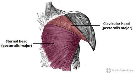 göğüs kası anatomisi nedir, göğüs kası anatomisi, göğüs hangi kaslardan oluşur, göğüs kasları, chest muscle, pectoralis major, pectoralis minör, subclavius, göğüs çalışırken hangi kaslar çalışır chest anatomy, göğüs anatomisi inceleme, göğüs kasları, göğüs egzersizleri hangi kasları çalıştırır, göğüs egzersizleri anatomisi, göğüs egzersizleri  sternal parça clavicular parça, abdominal parça üst göğüs kasları, alt göğüs kasları