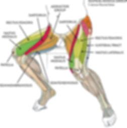 bacak kasları, ön bacak kasları, leg muscle, tensor fascia latae, quadriceps femoris , sartorius, adductor muscle, muscle anatomy üst bacak anatomisi, quadriceps anatomisi