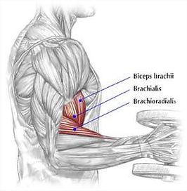 ön kol kası anatomisi nedir, ön kol kası anatomisi, ön kol hangi kaslardan oluşur, ön kol kasları, biceps muscle, ön kol çalışırken hangi kaslar çalışır biceps anatomy, ön kol anatomisi inceleme, ön kol kasları, ön kol egzersizleri hangi kasları çalıştırır, ön kol egzersizleri anatomisi, ön kol egzersizleri, biceps, brachialis, brachioradialis, ön kol kasları