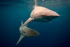 Pair of Bull Sharks