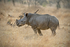 Baby White Rhino. South Africa
