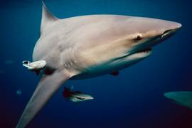 Bull Shark - Florida
