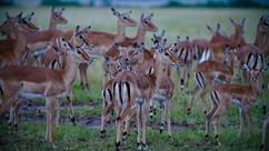 Impala. Kenya