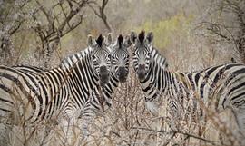Heads together! Zebra at Nambiti