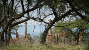 Tower of Cape Giraffe