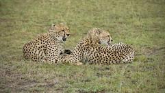 Cheetahs, brother & sister after a failed hunt. Masai Mara
