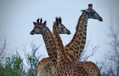 Tower of Giraffe. Nambiti, South Africa
