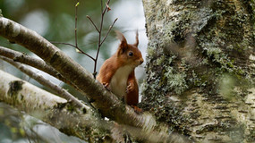 Red Squirral