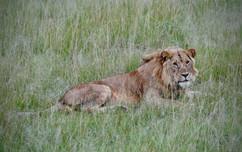Young male Lion. Masai Mara