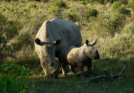 White Rhinos. South Africa