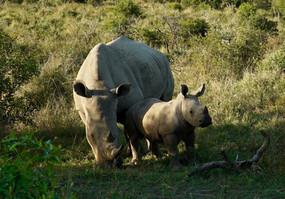 White Rhinos. South Africa