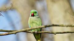 Parakeet in London