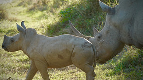 Mother and calf at sunset in Imofolozi National Park.