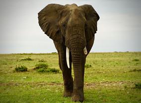 African Elephant Bull. Masai Mara