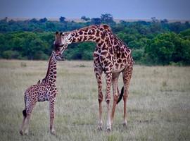 New born giraffe. Kenya