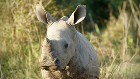 Curious Baby White Rhino