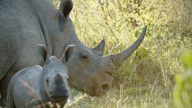 Walking with Rhinos in South Africa