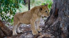 Female Lion cub (Panthera Leo)