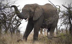 Male African Elephant at Nambiti Reserve